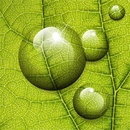 macro leaf: Vector water drops on green leaf macro background.