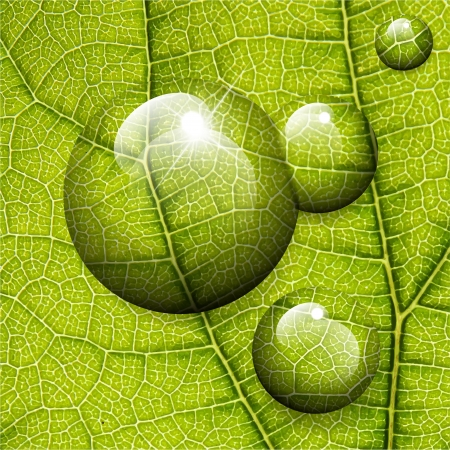 leaf water drop: Vector water drops on green leaf macro background.