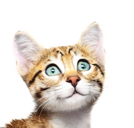 Cute kitten looking up on a white background photo