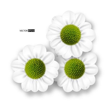 oxeye: daisy flowers.