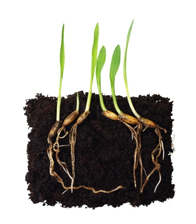 grass roots: Green grass sprouts with roots