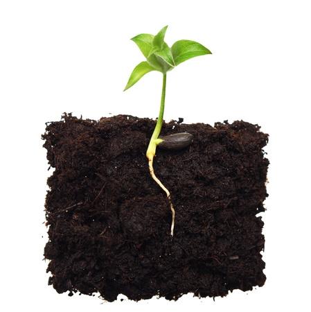 semilla: Peque�o �rbol de manzana en planta con ra�z Foto de archivo