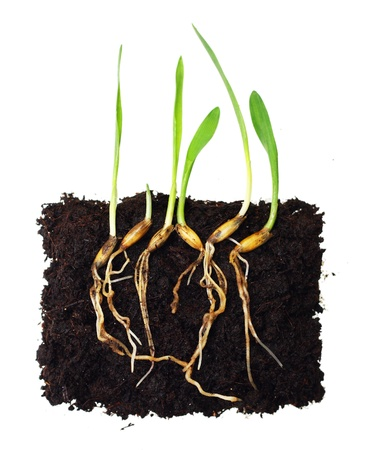 Green grass sprouts with roots  photo