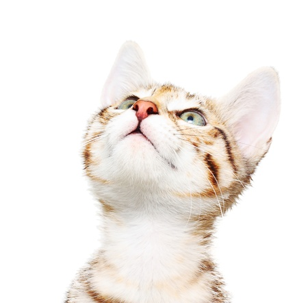 whiskar: Cute kitten looking up. Stock Photo