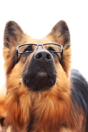 long haired: Long-haired german shepherd  in black eyeglasses.