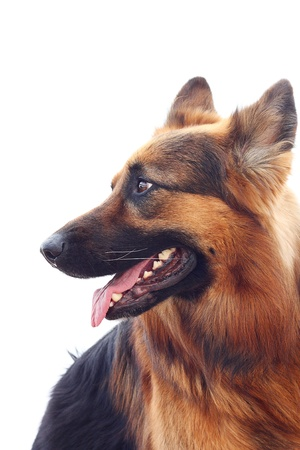 haired: Long-haired german shepherd  isolated on white