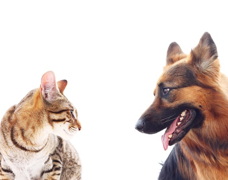 animal sad face: Long-haired german shepherd dog and a cat.