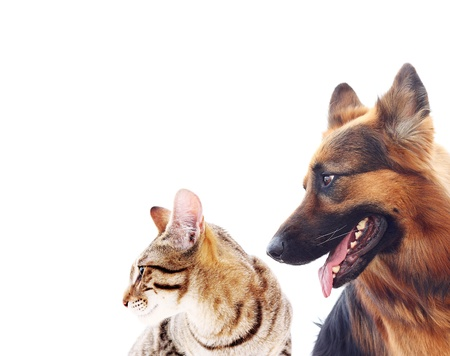 Long-haired german shepherd dog and a cat.