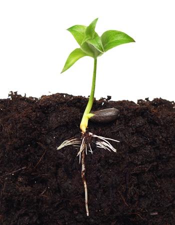 Kleiner Apfelbaum im Boden mit Wurzel.