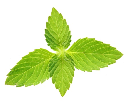 Green mint leaves isolated on a white background. Фото со стока