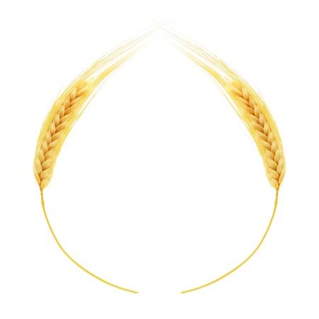 cultivo de trigo: Espigas de trigo aislado en el fondo blanco