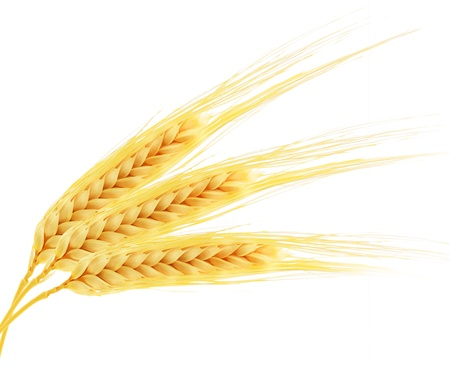 ear of corn: Ears of wheat isolated on white background