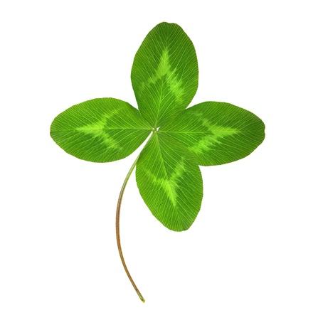 fourleaf: Four-leaf green clover  Stock Photo