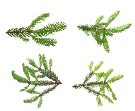 arbol de pino: Rama de un �rbol de pino