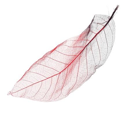 dried leaf: Dried leaf macro on white background.