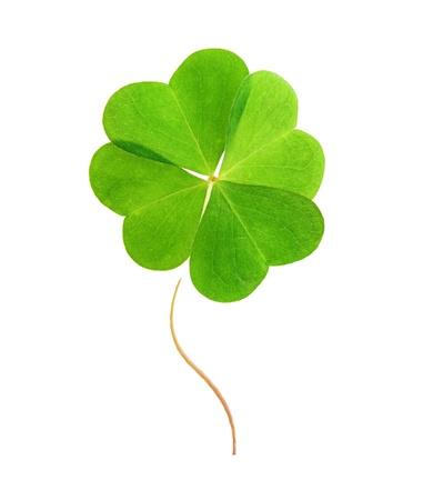 four leaf: Hoja de tr�bol verde aislado en el fondo blanco. Foto de archivo
