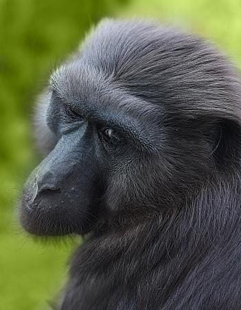 squirrel monkey: Monkey close-up against blurred background.