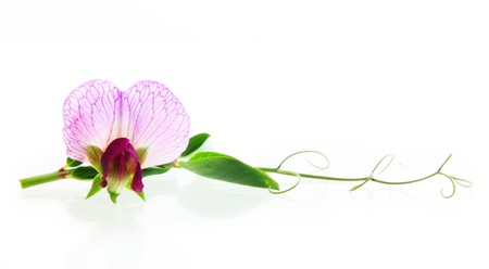 sweet pea flower: Sweet pea flowers isolated on white background