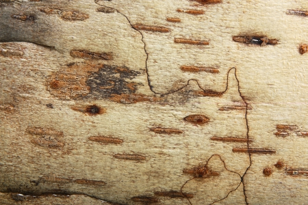 Bark of birch wooden background. photo