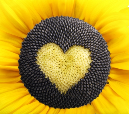 plant seed: Sunflower plant with heart from seed isolated on white background