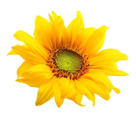 sunflower isolated: Girasole isolato su sfondo bianco. Archivio Fotografico