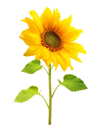 Sunflower plant isolated on white background. Stock Photo