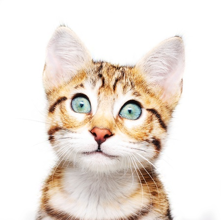 cat grooming: Cute kitten looking up. Stock Photo