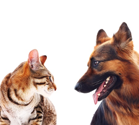 Long-haired german shepherd dog and a cat. photo