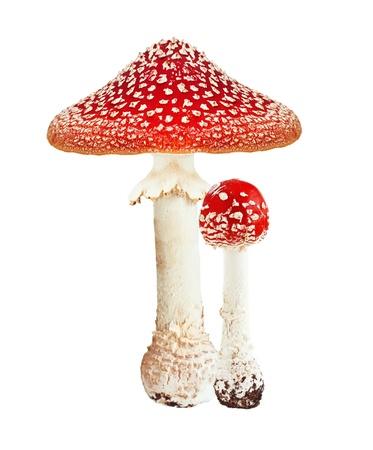 Red Gift Pilz Amanita, Fliegenpilz auf wei�em Hintergrund.