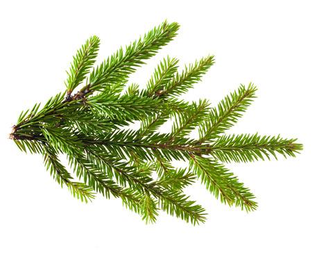 Pine tree branch geïsoleerd op wit
