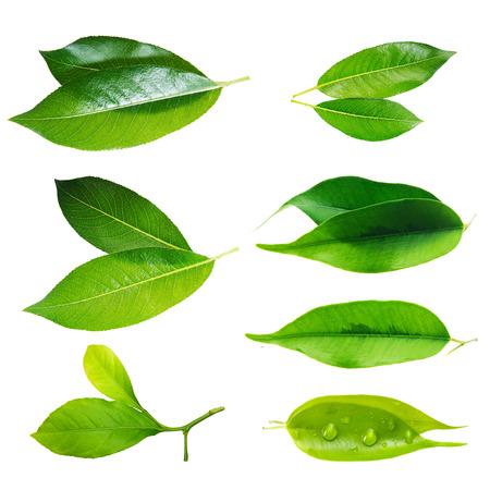 green tea leaf: Green leaf set isolated on white background  Stock Photo