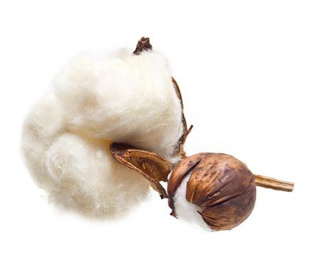 Fleur de la plante de coton sur fond blanc Banque d'images - 24320336