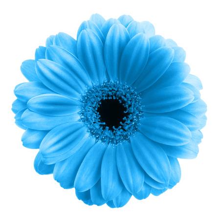白い背景上に分離されて青いガーベラの花