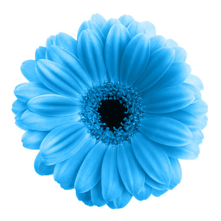 Blauwe gerbera bloem geïsoleerd op witte achtergrond