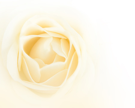 Single white rose flower background