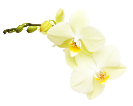 Orchid flower branch isolated on white background Stock Photo
