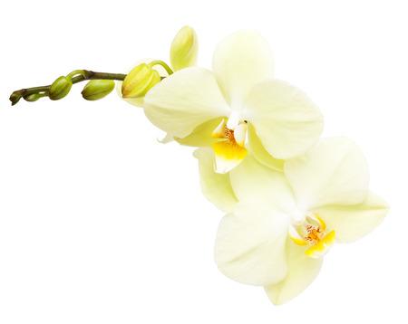 Orchid rama de flores aisladas sobre fondo blanco