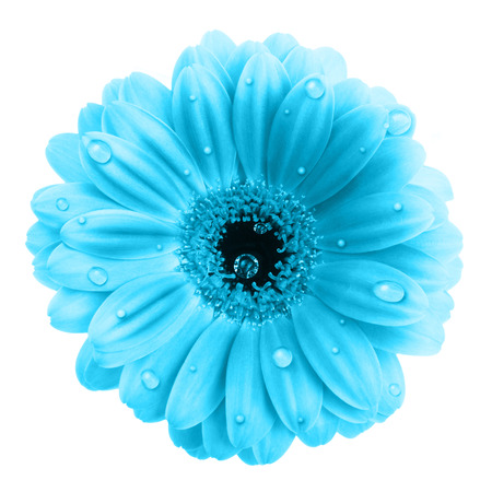 blue daisy: Blue gerbera flower with water drops isolated on white background