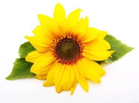 Zonnebloem geïsoleerd op witte achtergrond