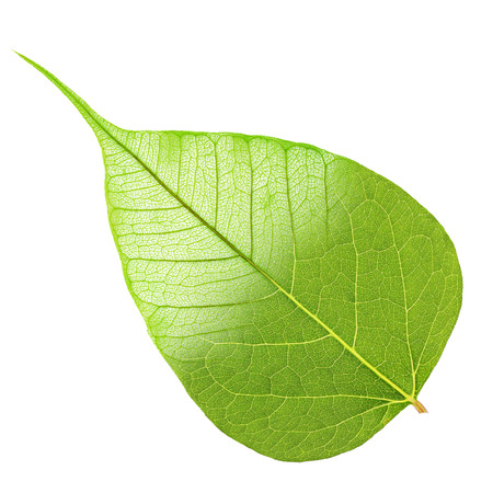 Green leaf half skeleton isolated on white background photo