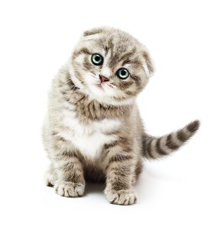 Kitten on white background.British Shorthair cat.