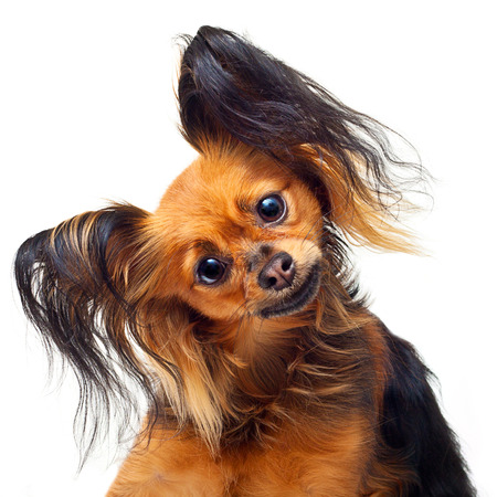 toy terrier: Young toy terrier dog on a white background. Stock Photo