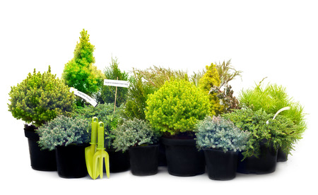 Conifer sapling trees in pots isolated on white. photo