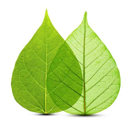 fresh leaf: Macro green leaves isolated on white background