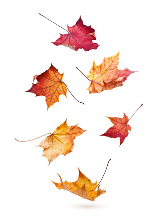 Autumn maple leaves falling down isolated on white background photo