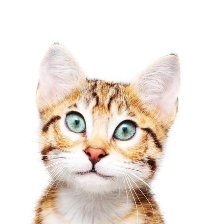 Cute kitten looking in camera on white .