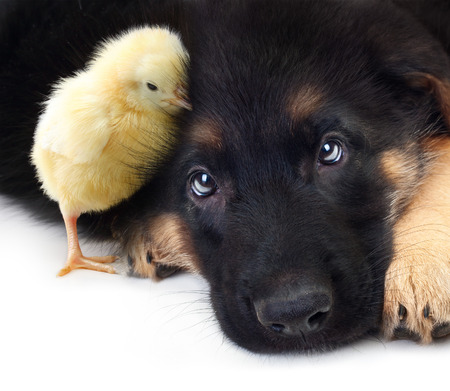 Cute little chicken and puppy german shepherd dog on a white background. photo