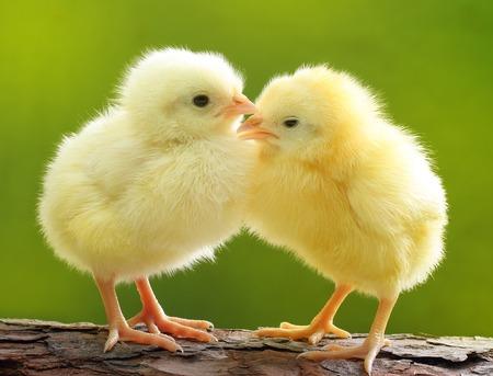 Cute little chicken over green natural background. Standard-Bild