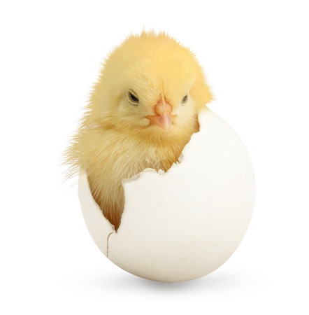 Cute little chicken coming out of a white egg isolated on white background Stock Photo - 28229488