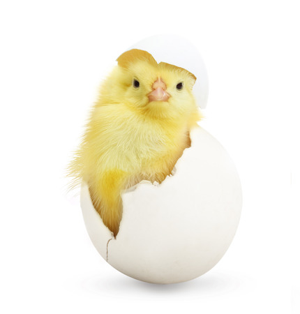 on coming: Cute little chicken coming out of a white egg isolated on white background